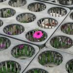 咲いたペチュニア