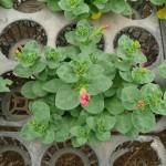 開花しそうなペチュニア