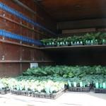 野菜苗の出荷