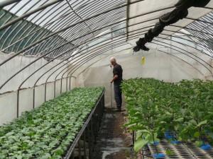 野菜苗に葉水