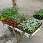 野菜苗たちの出荷