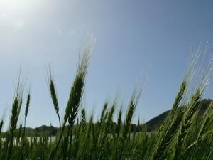 太陽と小麦