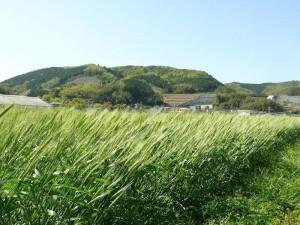 千歳町の小麦