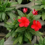 ニチニチソウの開花2016