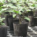 大きめの器にナス栽培