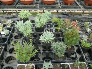 多様な多肉植物