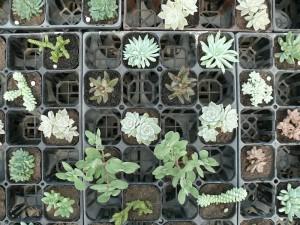色々な多肉植物たち