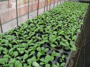 2016年の白菜苗