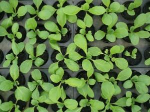 白菜の苗2016年
