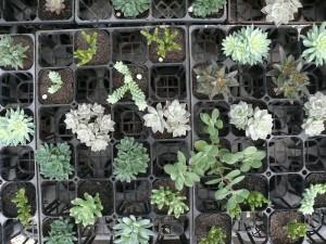 多肉植物の星屑