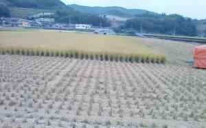 稲刈りの時季