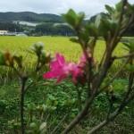 10月にツツジの開花