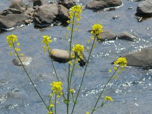 菜の川:茜川