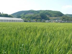 2017小麦と千歳町