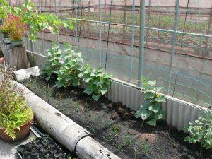 ミニキュウリ苗を植える