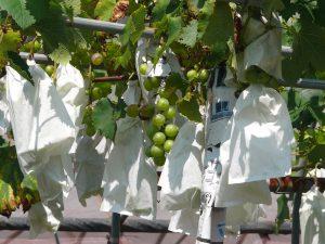 袋で包んだ葡萄