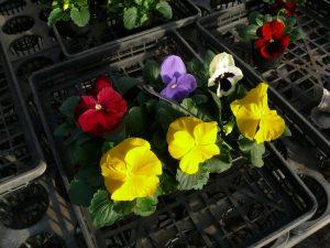 パンジー開花