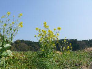 菜の花と季節