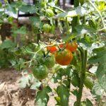 2018年6月のミニトマト
