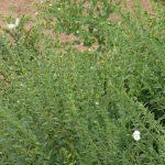 紋白蝶と紫草