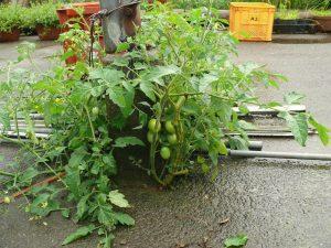 隙間に芽生えるトマト